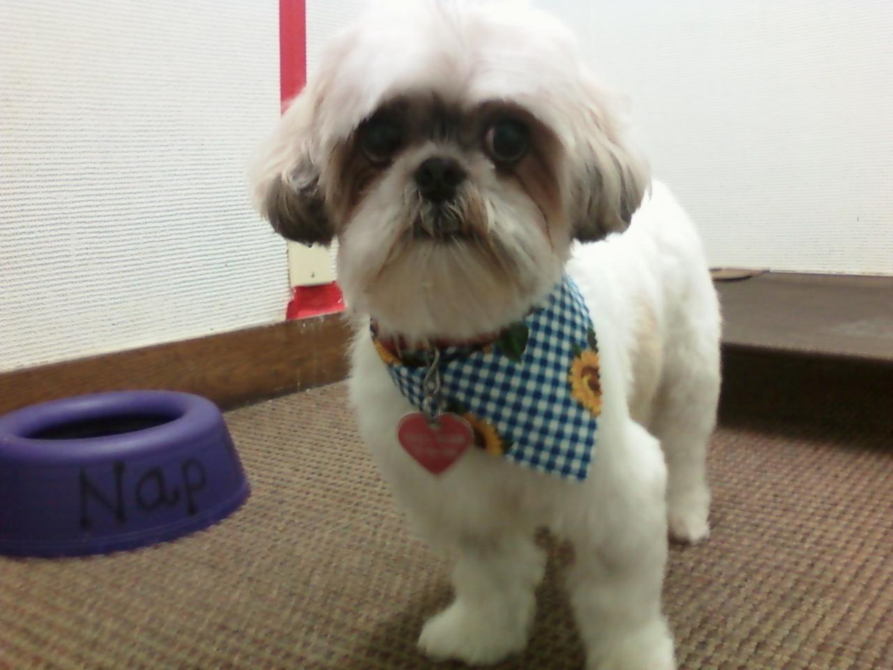 Maltese Shih Tzu Grooming Styles 482 Best Images About Dog Grooming